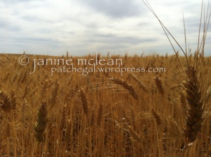 Golden Fields of Wheat